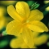 winter_jasmine